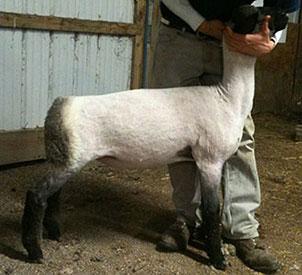 Wether or Not Show Lambs :: Highbridge Hamps